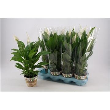Spathiphyllum 13 cm 'Strauss®' Russia