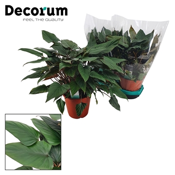 Philodendron Arrowhead 19 cm