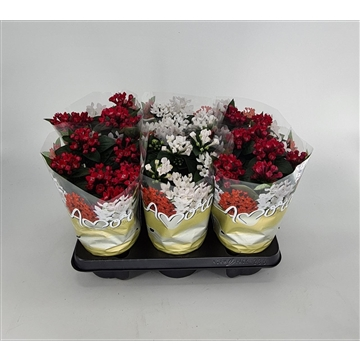 Bouvardia kerstmix roodwit