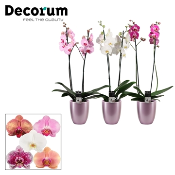 Phalaenopsis 2 tak mix in Pearl (Deco-collection)