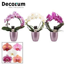 Phalaenopsis boog mix in Pearl (Deco-collection)