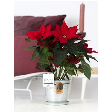 Euphorbia P Mars red inPure collection Louise zink