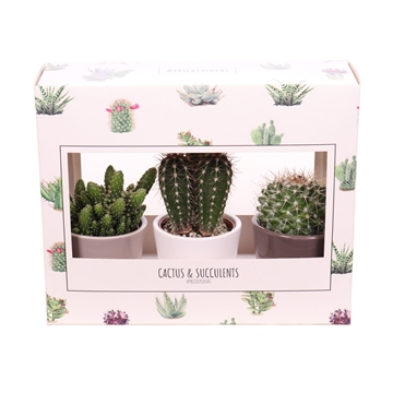3x Cactus 5,5 cm in kartonnen prickly blister