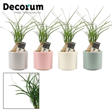 Beaucarnea bol 6 cm in Diego (Deco-collection)