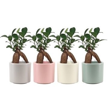 Ficus Ginseng Retusa 6 cm in Diego (Deco-collection)