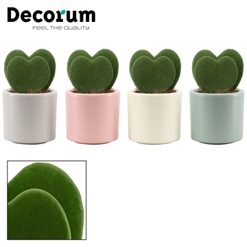 Hoya Kerrii Double 6 cm in Diego (Deco-collection)