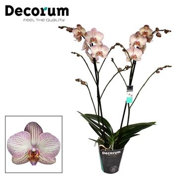 Phalaenopsis Varese 2 tak Decorum