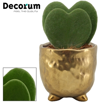 Hoya Kerrii Double 6 cm in Sigma (Deco-collection)