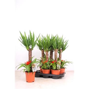 Yucca 17 cm 45 + Bromelia