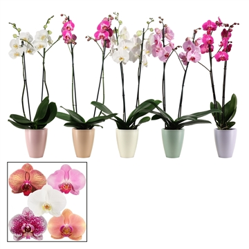 Phalaenopsis 2 tak 14+ mix in Carly (Dream Spirit-collection)