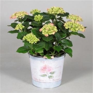 Hydrangea Bol Pink 7 - 12 kop in Bucket