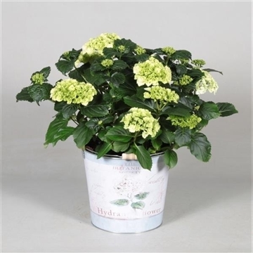 Hydrangea Bol White 7 - 12 kop in Bucket