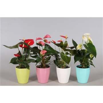 Anthurium 'XL-Flowers'' in Cynthia keramiek