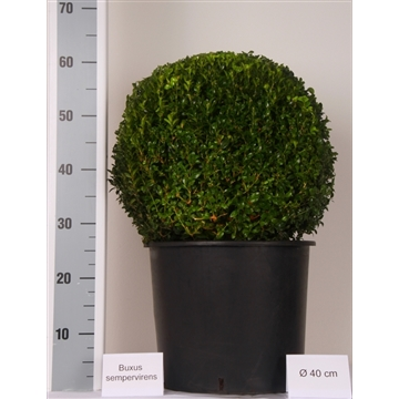 Buxus bol 40cm Zwarte pot