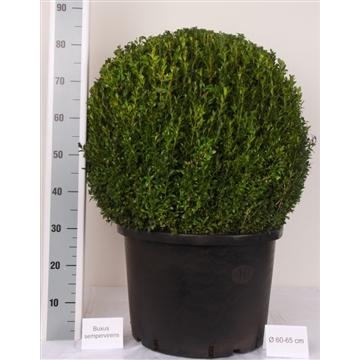 Buxus bol 60cm Zwarte pot