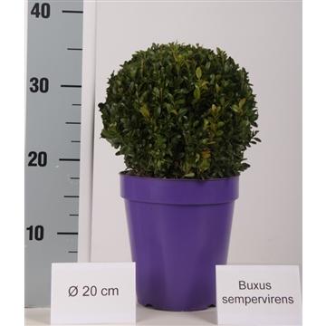 Buxus bol 20cm color pot