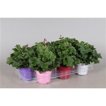 Pelargonium Grandiflorum Mixkar 5 kleuren in Ton sur Ton (stadium 1/2)