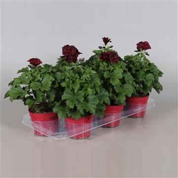 Pelargonium Grandiflorum ''Shoko''