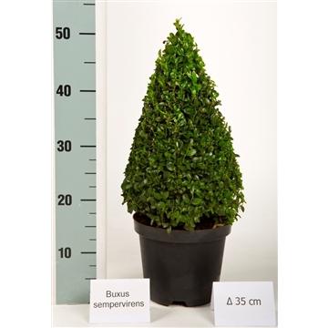 Buxus pyramide 35cm Zwarte pot