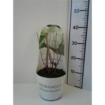 Hydrangea arb. Annabelle