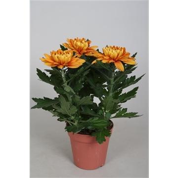 Chrysanthemum Chrysanne® 'Nova Zembla' Durango