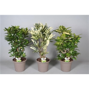 Croton Special mix vertakt in deco pot P25 (Decorum)