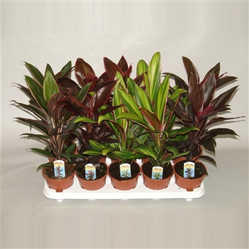 Cordyline mix