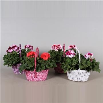 Pelargonium Grandiflorum in diverse kleuren duo hengselmand