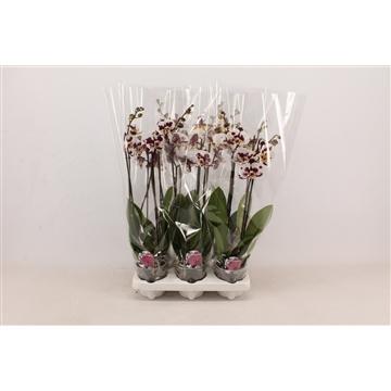 Phalaenopsis op kleur