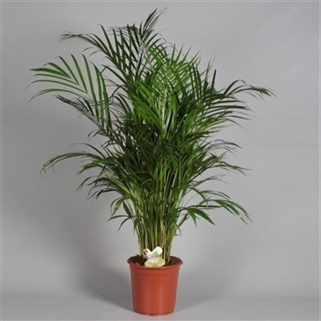 Dypsis lutescens (Areca) in Ned. afgekweekte plant (RUSSIA)