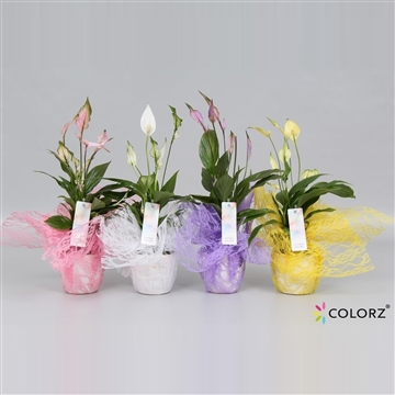 Spathiphyllum 9 cm Chopin® Ultimo Colorz® Sweet Deco