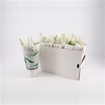Spathiphyllum 13 cm 'Bellini®' Air so pure