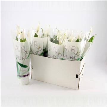 Spathiphyllum 13 cm 'Strauss®' Air so pure