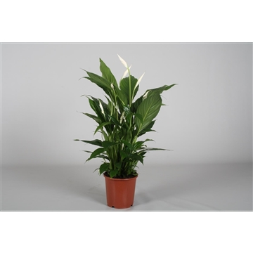 Spathiphyllum 17 cm 'Vivaldi®' Blanco hoes