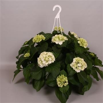 Hydrangea macr. 25cm Wit Hangplant 20+ Bloem