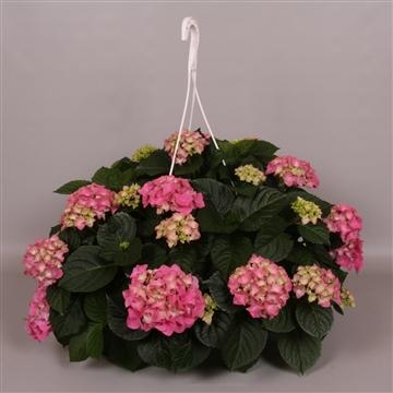 Hydrangea macr. 25cm Roze Hangplant 20+ Bloem