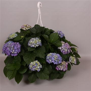 Hydrangea macr. 25cm Blauw Hangplant 20+ Bloem