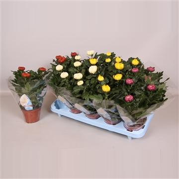 Deco Chrysant 12cm Gemengd