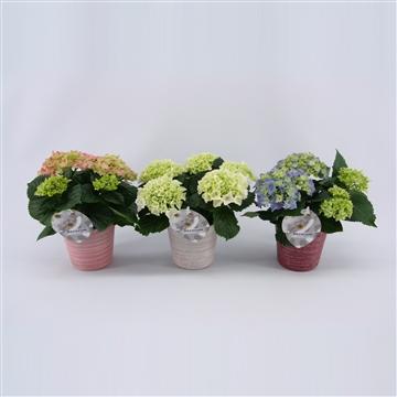 Hydrangea macr. 10cm in Amelie Pot