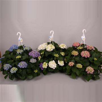 Hydrangea macr. 25cm Mix 3 kleuren
