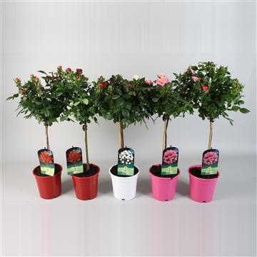 roos op stam kleinbloemig ov Ton sur Ton