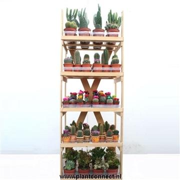 Cactusrek dubbel massief karton