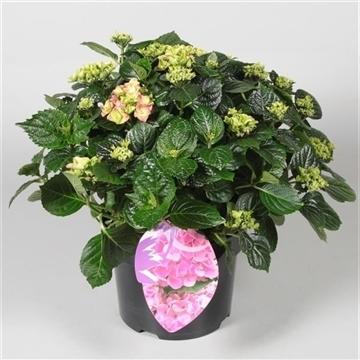 Hydrangea Bol Pink 7 - 12 kop