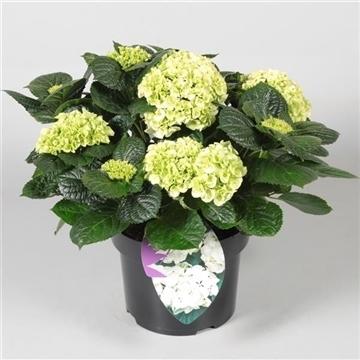 Hydrangea Bol White 10 - 15 kop