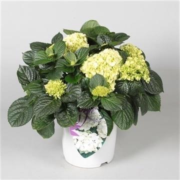 Hydrangea Bol White 7 - 12 kop in gekleurde sierpot