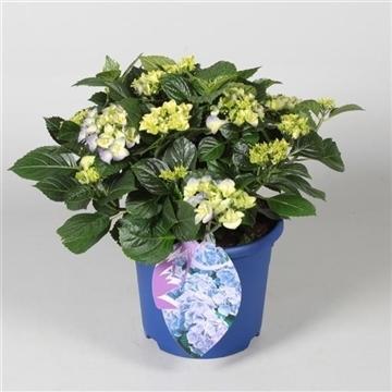 Hydrangea Bol Blue 10 - 15 kop in gekleurde sierpot