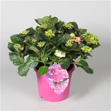 Hydrangea Bol Pink 10 - 15 kop in gekleurde sierpot