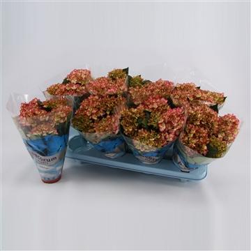 Hydrangea macr. 10cm Adula Roze 3+ Bloem