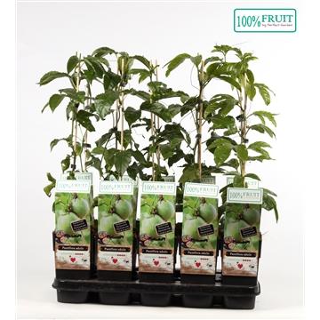 Passiflora edulis - 100%FRUIT