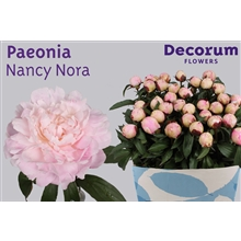 Paeonia Nancy Nora